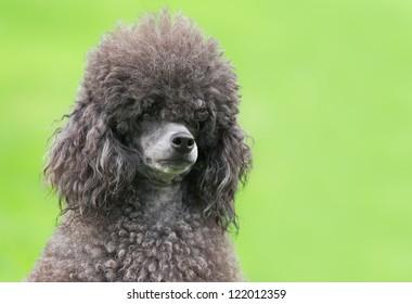 Portrait of a female black poodle dog