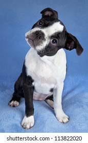 A portrait of a female Boston terrier puppy.