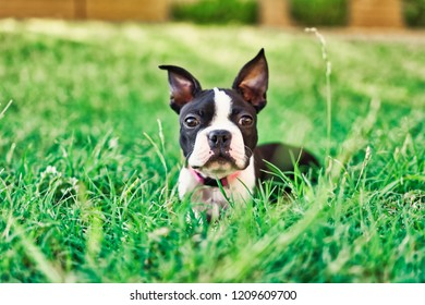 Portrait of a female Boston Terrier puppy lying in grassy area