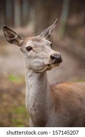 portrait of female deer in the woods