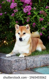 Portrait of a female dog of the Siba Inu breed  Beautiful red dog sits in blooming flowers