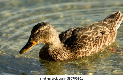 Portrait of a female of duck on the water
