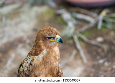 Portrait of a female eagle standing still on a pole against a blurred background.