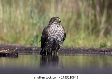Retrato de una mujer euroasiática Sparrowhawk bañándose en Lemelerberg, Países Bajos