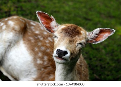 Portrait of female fallow deer (dama dama) on the meadow. Phtography of wildlife.