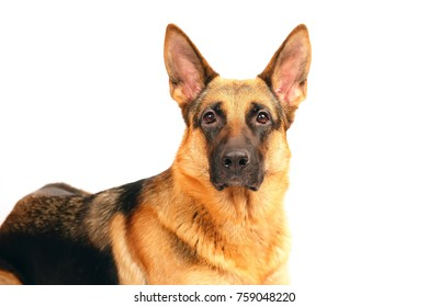 The portrait of a female German Shepherd dog posing on a white background
