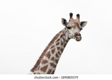 Portrait of a female giraffe.