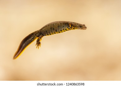 Portrait of a female great crested newt (Triturus cristatus)