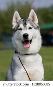 Portrait of female grey siberian husky on dow show outdoor