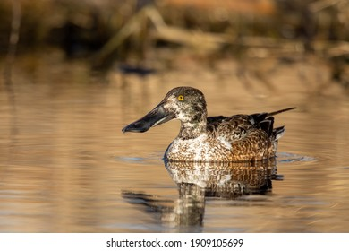 A portrait of a female (hen) northern shoveler duck sitting quietly on the water of a beaver pond