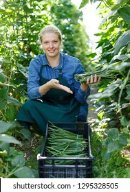 Portrait of female horticulturist picking harvest of habichuela  to crate in  hothouse