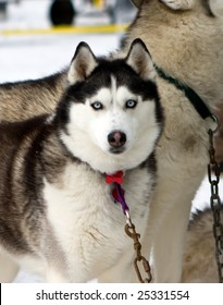 Portrait of a female Husky dog near dog sled race in Toronto Area