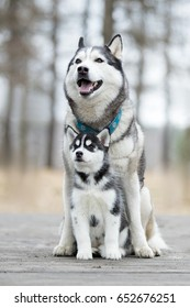 Portrait of the female husky with puppy at autumn time