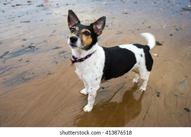 Portrait of a female Jack Russell Terrier posing on the beach.