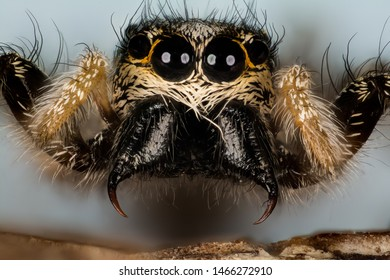 Portrait of female Jumping Spider or Zebra Back Spider made in Macro Focus Stacking.
