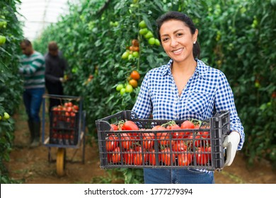 Portrait of female latino gardener carrying box full of ripe tomatoes in greenhouse, two male workers harvesting on background