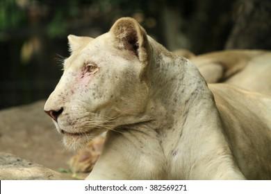 Portrait of female lion