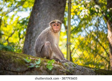 Portrait of a female macaque (Macaca radiata) that sits on the top of the concrete wall of Periyar National Park in Kumily, Kerala, India
