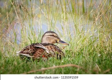 Portrait of Female mallard duck in grass