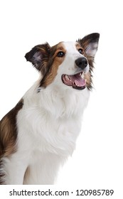 A portrait of a female mixed breed dog on a white background.
