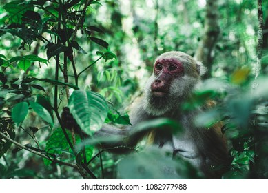 portrait Female monkey  Assam macaque in the wild