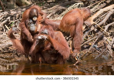 Portrait of a female orangutan with baby in the national park on the river bank near water. Indonesia. The island of Kalimantan (Borneo). An excellent illustration from close.