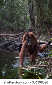 Portrait of a female orangutan in the national park on the river bank near water. Indonesia. The island of Kalimantan (Borneo). An excellent illustration from close