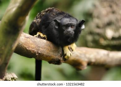 Portrait of female red-handed midas tamarin monkey. New World monkey. Photography of nature and wildlife.