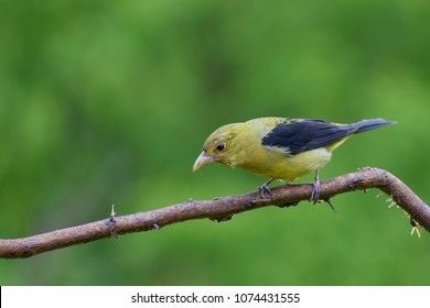 Portrait of Female Scarlet Tanager (Piranga olivacea) perched on small branch
