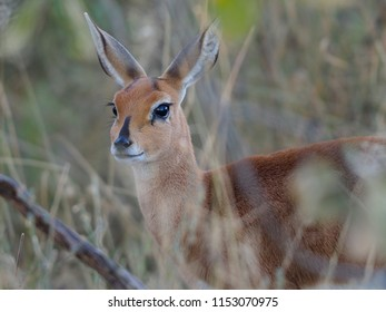 Portrait of a Female Steenbok, Okavango Delta, Botswana