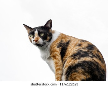 Portrait of a female tortoiseshell and white cat with isolated white ground