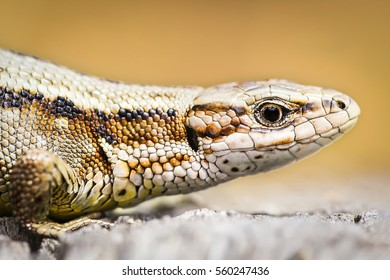 Portrait of a  female viviparous lizard (Zootoca vivipara) sunbathing