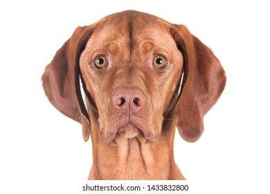 Portrait of a female Vizsla dog against white background