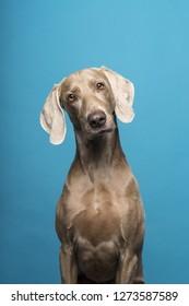 Portrait of female Weimaraner dog on a blue background tilted head