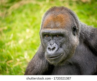 Portrait of a female westland lowland Gorilla