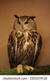 Portrait of female wild eagle owl (bubo bubo) with wise eyes. Raptor bird. Eurasian eagle owl (eagle-owl). Photo of bird. Zoology and fauna. It is sometimes referred to as the world's largest owl