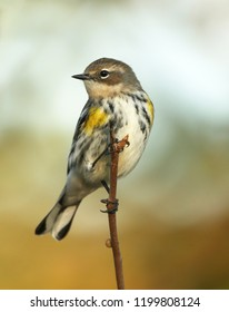Portrait of Female Yellow-rumped Warbler