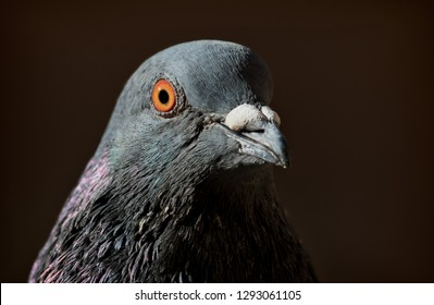 portrait of feral pigeon city pigeon in stockholm