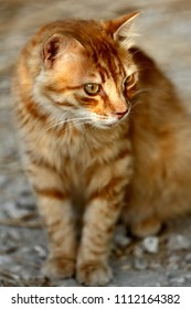 Portrait of feral red striped cat in the countryside. Photography of nature and wildlife.