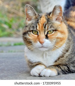 Portrait of a feral tabby cat with clipped left ear resting in the sphinx position.  Long Island, NY.  Copy space.