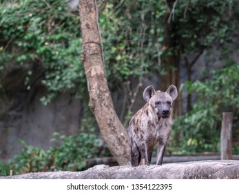 Portrait of ferocious hyena in natural open habitat in Africa. This nature spotted hyaenidae dog is a mammal of the order Carnivora. This Wild life animal is on display in national park or zoo.