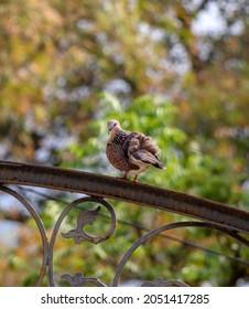 Portrait of a fierce looking pigeon.