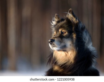 Portrait of a Finnish Lapphund