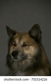 Portrait of a Finnish Lapphund