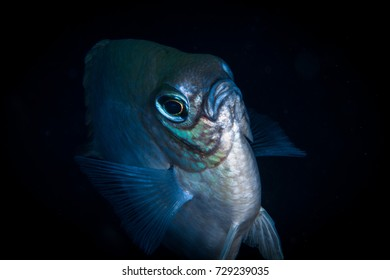 Portrait of the fish. Macro critters of the Red Sea. Egypt, Dahab, Red sea, Bannerfish Bay.