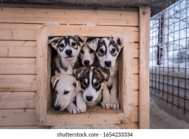Portrait of five alaskan husky puppies looking out from their house