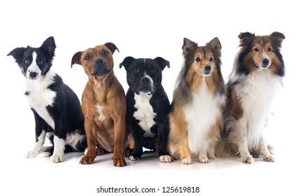 portrait of five purebred dogs in front of white background