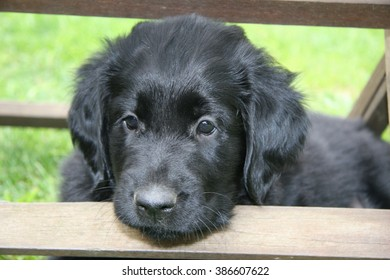 Portrait of a Flat coated retriever puppy