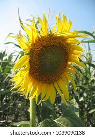 Portrait of a flower of a sunflower close-up
