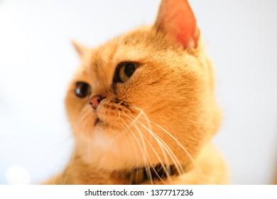 The portrait of fluffy British Short Hair cat looking around